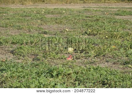 An Abandoned Field Of Watermelons And Melons. Rotten Watermelons. Remains Of The Harvest Of Melons.