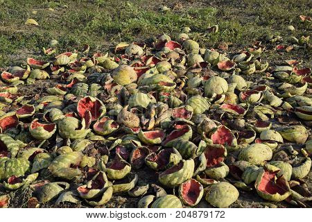 Heaps Of Rotting Watermelons. Peel Of Melon. An Abandoned Field Of Watermelons And Melons. Rotten Wa