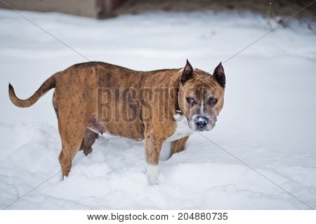 American Staffordshire Terrier Amstaff or Stafford with cropped ears on snow in the winter. The dog is on a walk.