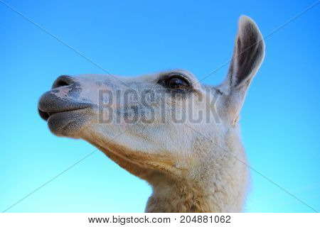 alpaca portrait on blue sky agriculture mammal wool fur