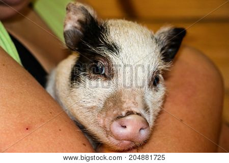 A cute pot bellied piglet being held