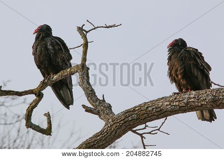 A pair of turkey vultures perched in a tree.