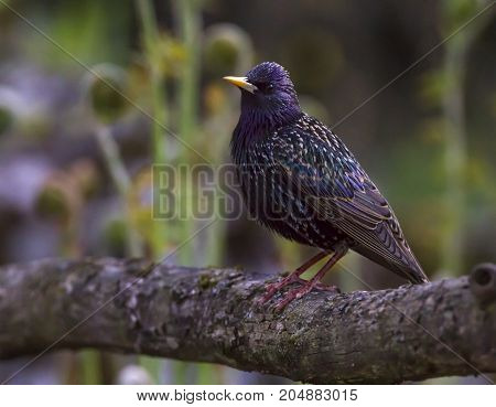 European or common starling, sturnus vulgaris, perched on a branch