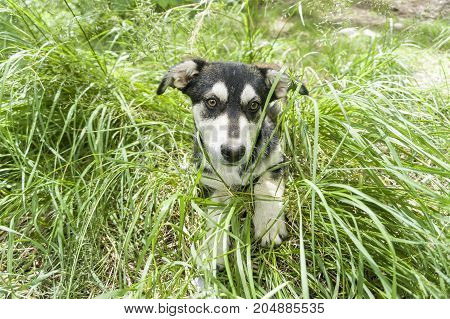 A dog, German shepherd on a green young grass