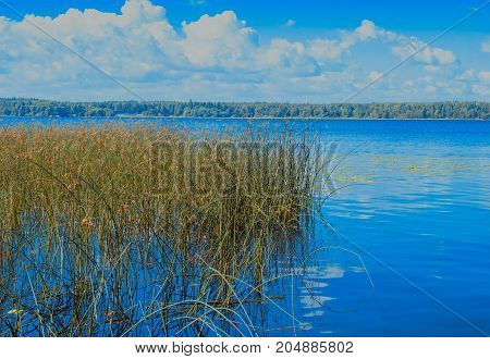 Reeds on the shore of the lake in summer da