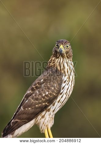 Close portrait of Red-Tailed Hawk in Amelia Island Florida