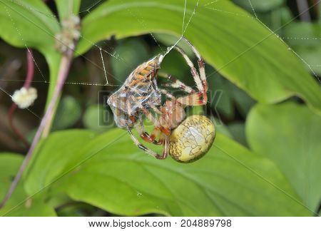 A close up of the spider on spider-web with fly caught by it.
