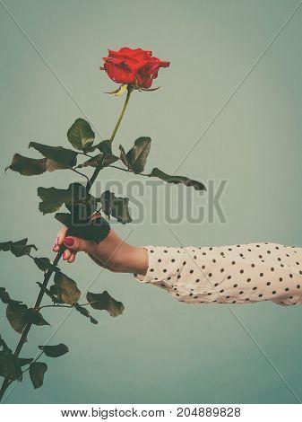 Female Hand Holding Red Rose Flower