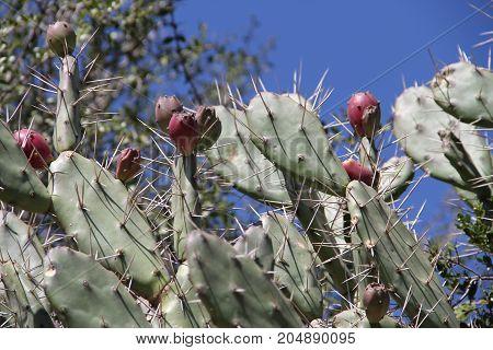 cactus tunas nursery fair sale in bloom