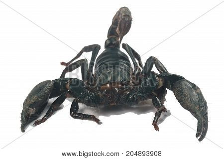 Big black Scorpion isolate on white background