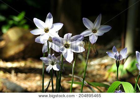 Blue star flowers Starflower Ipheion in garden blooming in Spring