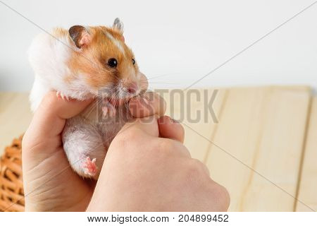 A hamster in the hands of a girl close-up on a wooden background.