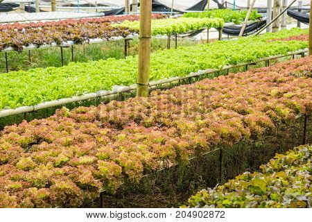 Hydroponics vegetable farm for healthy in rural of Thailand