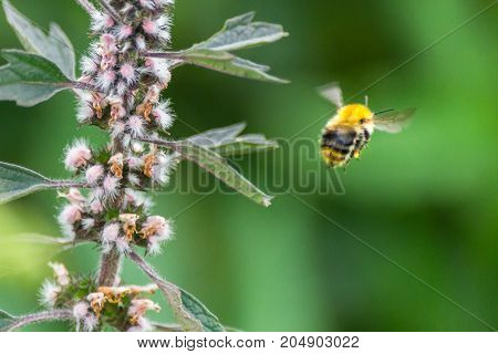 Pollination Concept: Close-up Of A Bumblebee Flying Away From A Meadow Flower, Blurred Green Backgro