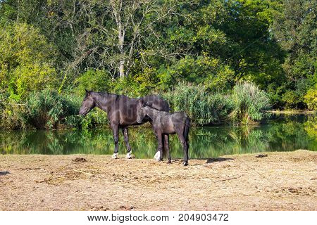 A mare with a foal on the river bank. On the other bank there is a forest. In the foreground is pasture.