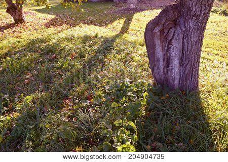 Old apple tree trunks in sunny autumn garden orchard