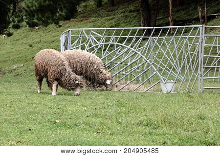 Masses of sheep are eating grass with pleasure in farm.