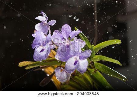 Rainy orchid in rainy - Stock Image