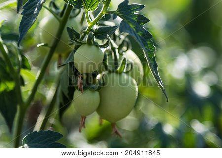 Raw Natural Tomatoes