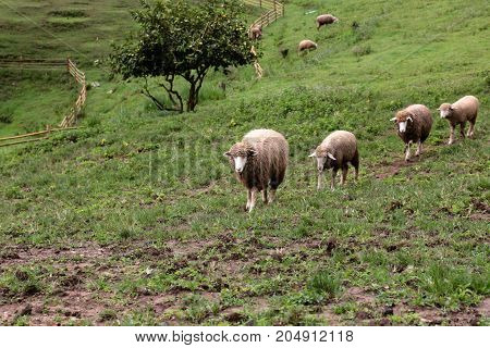 Masses of sheep are walking on floor in farm.