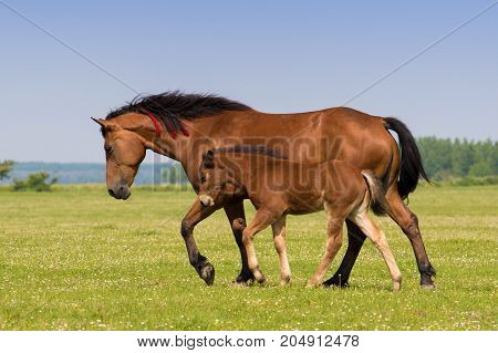 Sorrel horse and foal galop on the meadow
