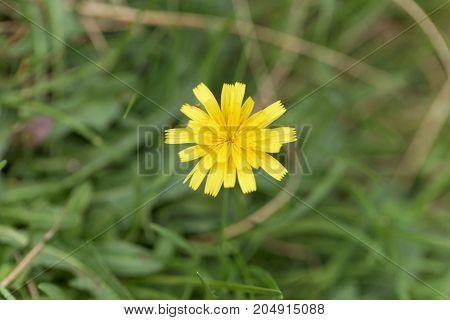 Flower Of The Dandelion Leontodon Saxatilis