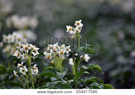 Flowering well groomed potato leaves and stems on the land