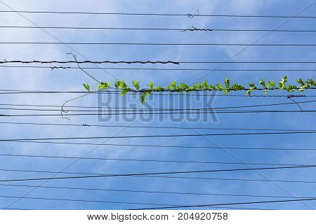 Climbing plant on electric cable with blue sky in the background.
