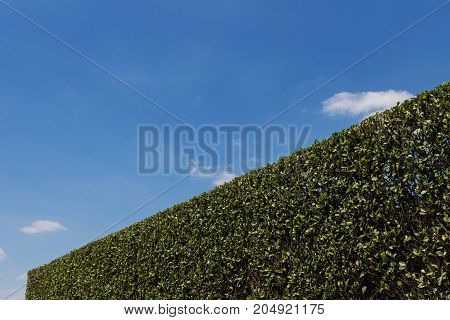 A hedge after pruning with blue sky and clouds in the background.
