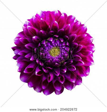 Beautiful red Dahlia. Dahlia flower. Dahlias isolated on white background