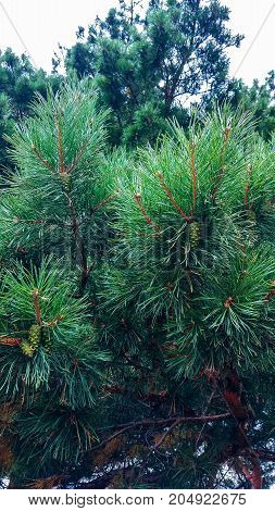 Pine branch close blurred colorful background forest