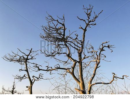 Two deadwood trees against the blue sky.