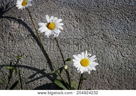 White Daisies Flowers On The Asphalt