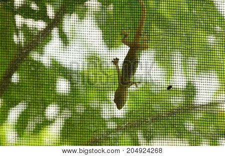lizard hanging on glass door and looking dead fly stuck inside mosquito net