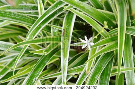 white weed flower blooming among Dracaena plant clump