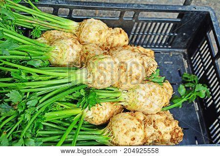Celery roots with leaf stalk freshly harvested at the market