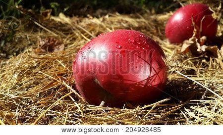 red apples with drops of dew on dry grass