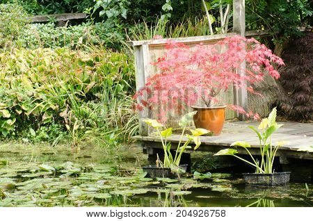Red Acer by watergarden with pond at front
