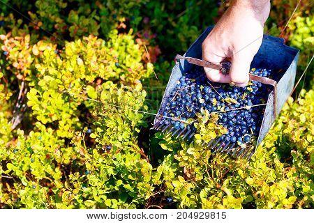 Comb for picking blueberries. Vaccinium myrtillus in nature.