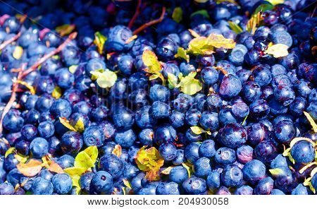 Detail of blueberry ripe berries of blueberries
