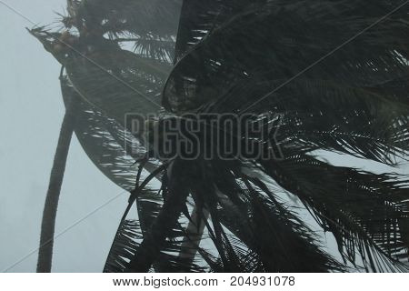 Close up coconut palms tree during heavy wind or hurricane. Rainy day