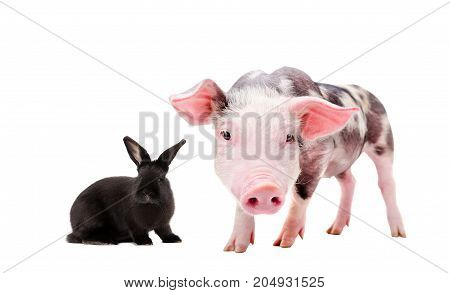Portrait of a curious pig and black rabbit, isolated on a white background