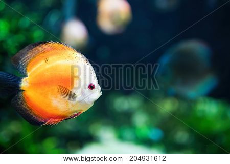 Portrait of beautiful exotic colorful fish swimming underwater