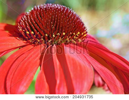Close up of one Coneflower bloom with Pollen on seeds