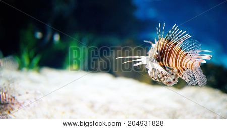 Portrait of beautiful venomous lion fish living in aquarium
