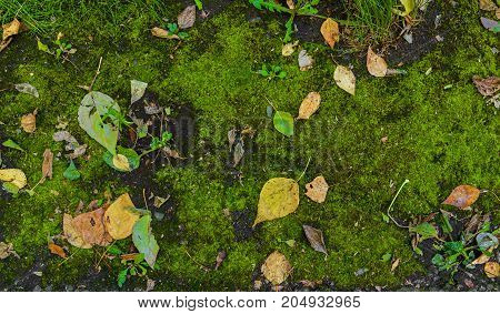 Green moss and yellow dry leaves on it. Fresh green moss background. Autumn