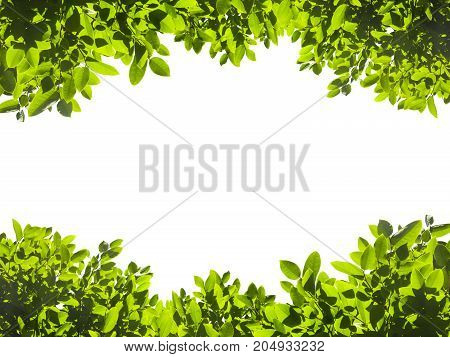 Green leaves isolated on white background. This has clipping path.