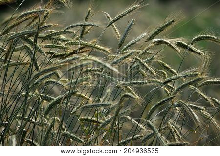 Green rye in the field of stalks and ears at sunset