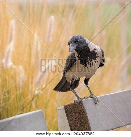 Cute Gray Crow