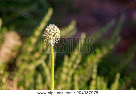 A Garlic flower on a blurred background